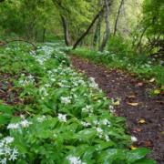 Wild garlic for foraging