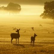Deer in Richmond Park at dawn